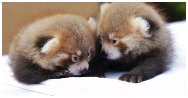 «Рыжие близнецы!» Очаровательных малышей рыжей панды показали в Нью-Йорке