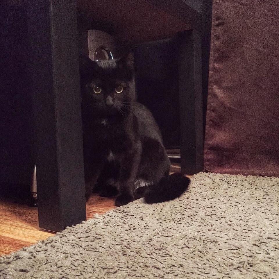 черная кошка сидит под столом