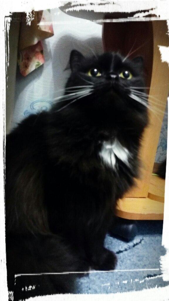 черная кошка с белой грудкой