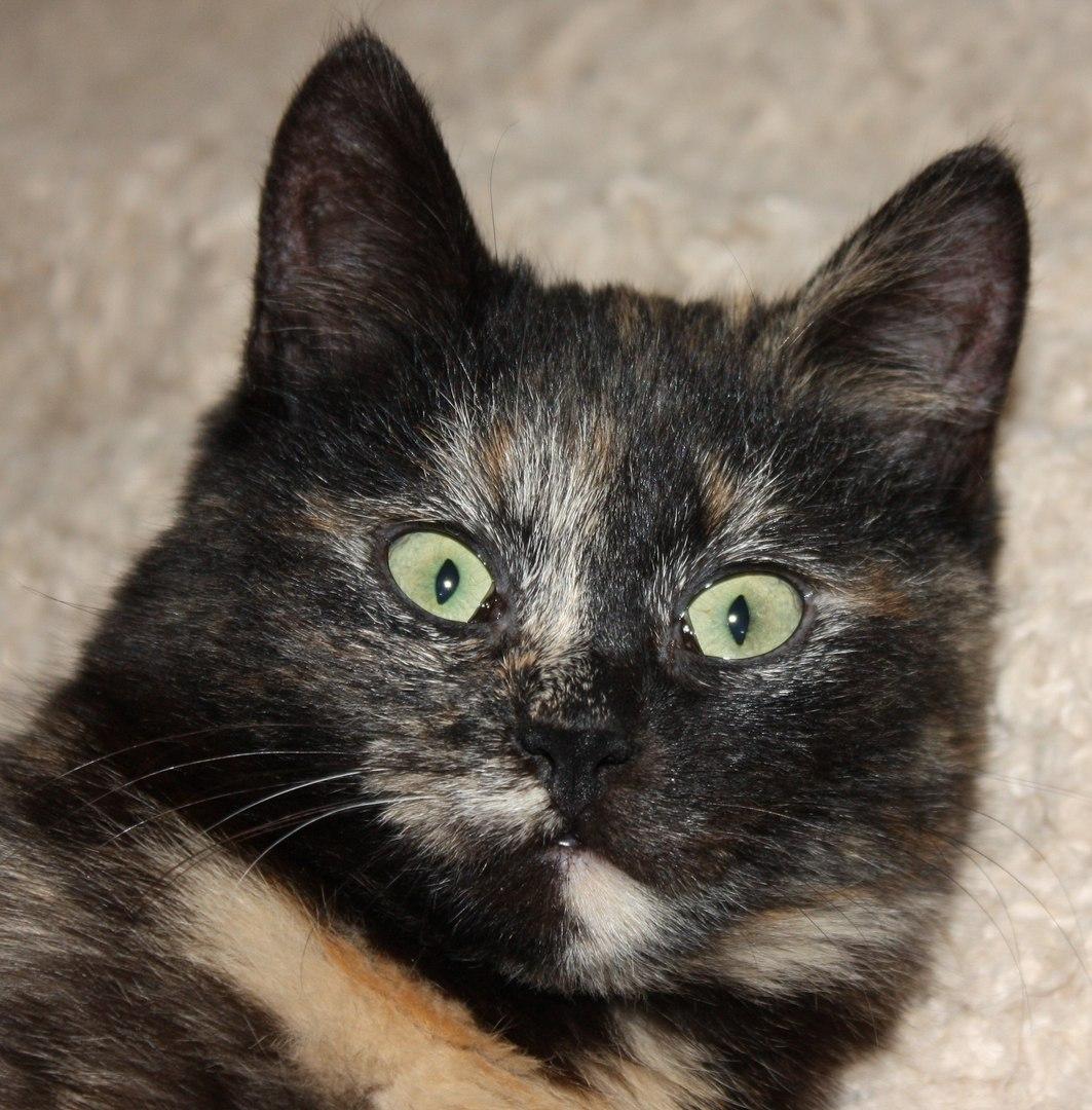 трехцветная кошка с зелеными глазами рис 2