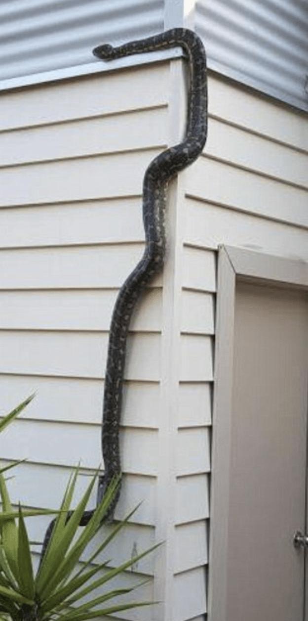 змея лезет по стене