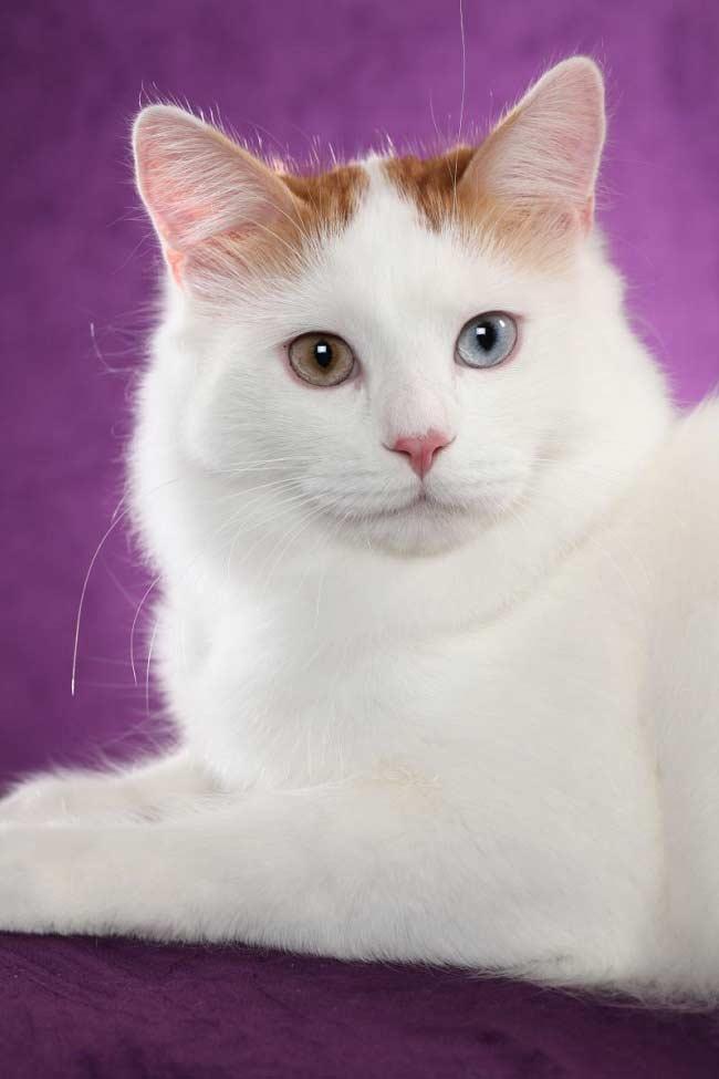 ванская кошка содержание и уход