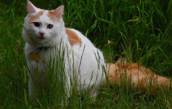 ванская кошка содержание и уход 3