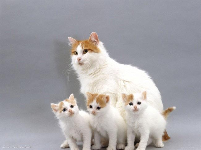 ванская кошка содержание и уход 4