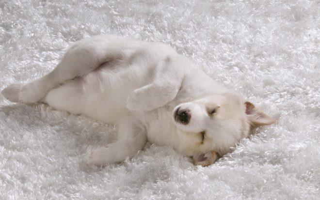 собака на белом ковре