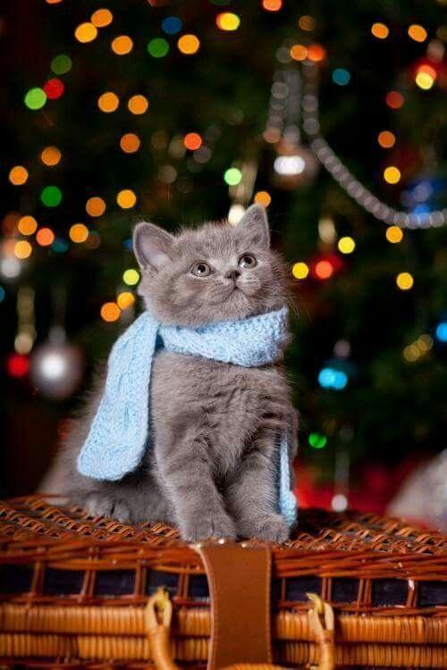 Британский серый короткошерстный котенок