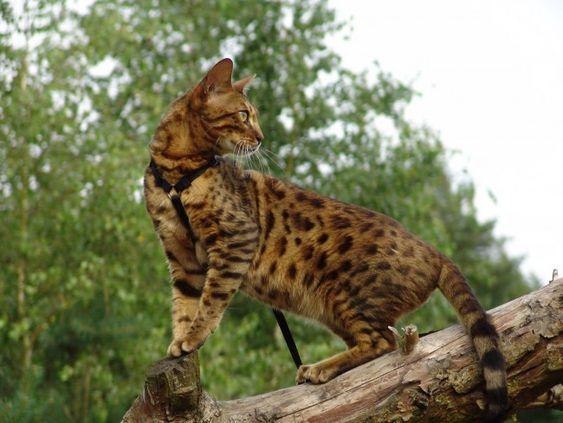 бенгальский кот на прогулке рис 2
