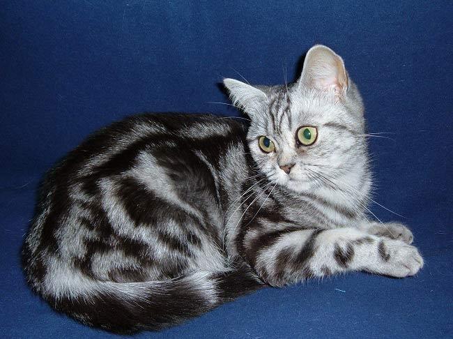 Полосатый британский котенок