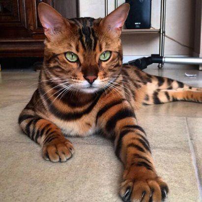 породы кошек с фотографиями бенгальские