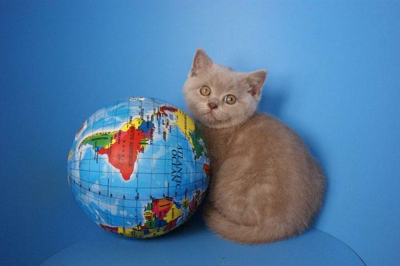 серый британский котенок