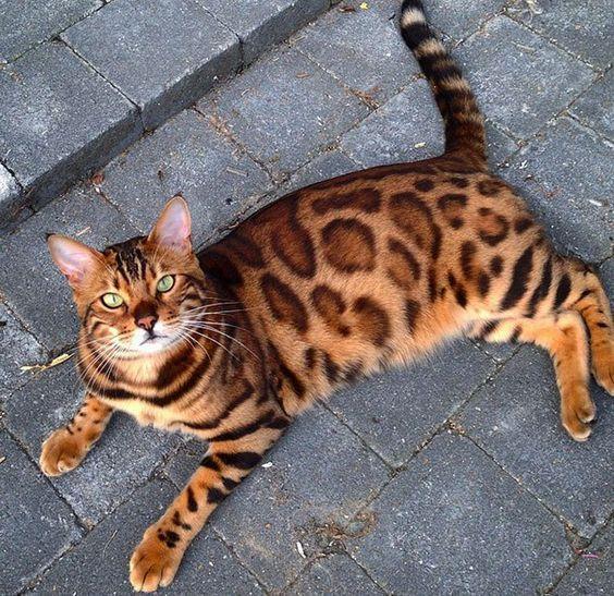 бенгальский кот на улице