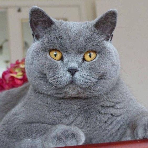Серая британская короткошерстная кошка