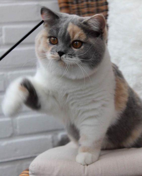 Трехцветная британская кошка