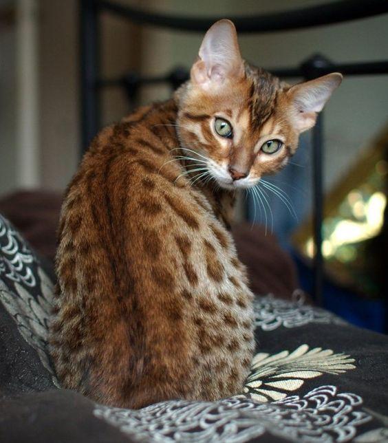 бенгальский кот на диване