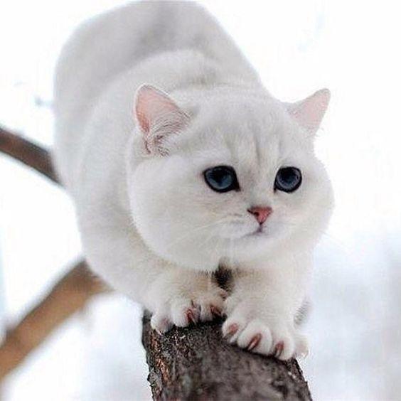Белая британская короткошерствная кошка