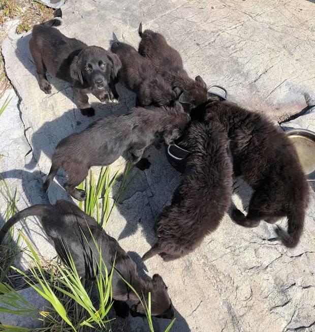 6 черных щенков
