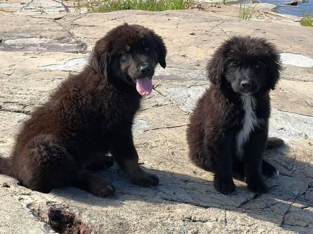 2 черных щенка