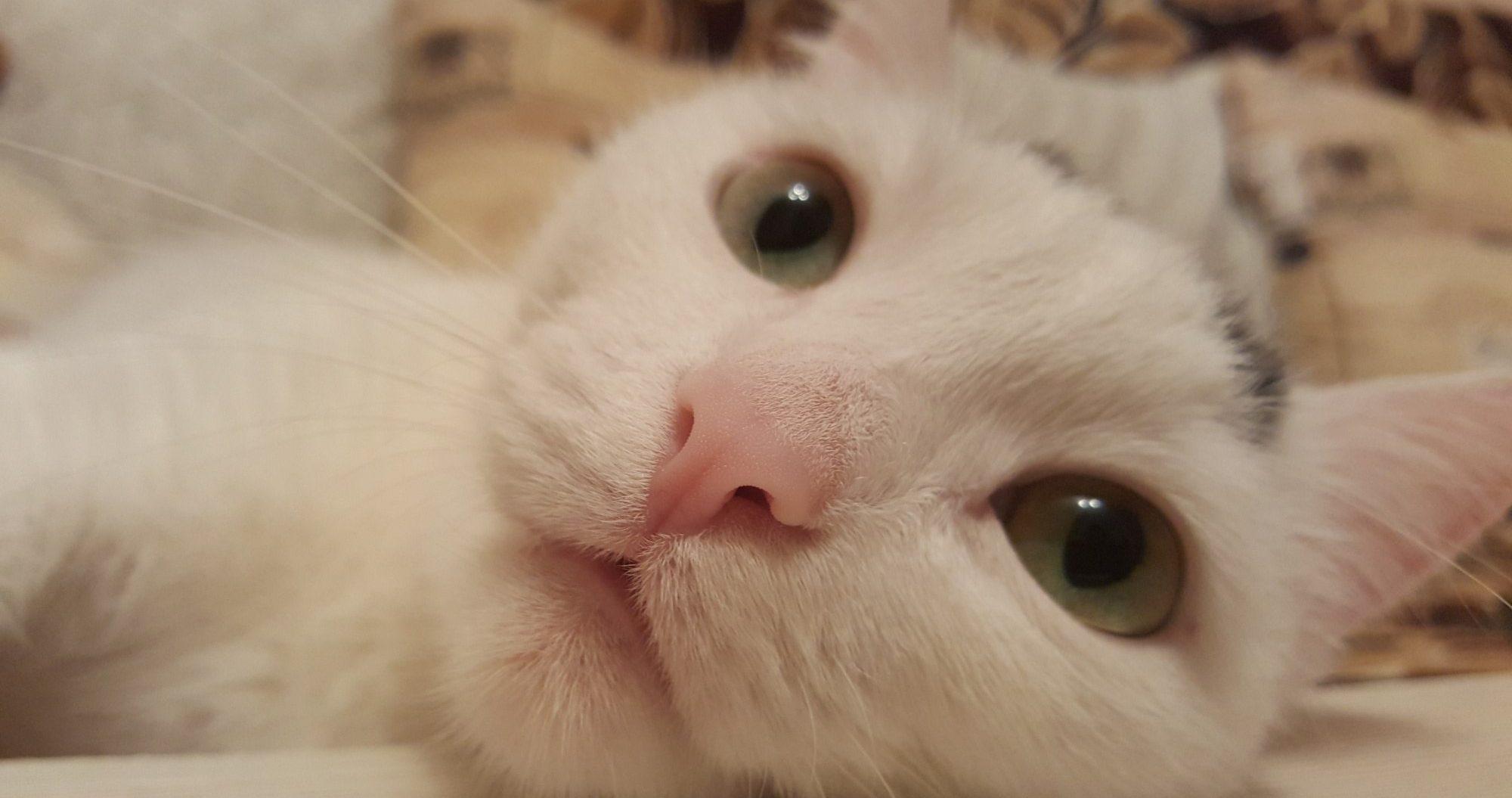 белая кошка с большими глазами