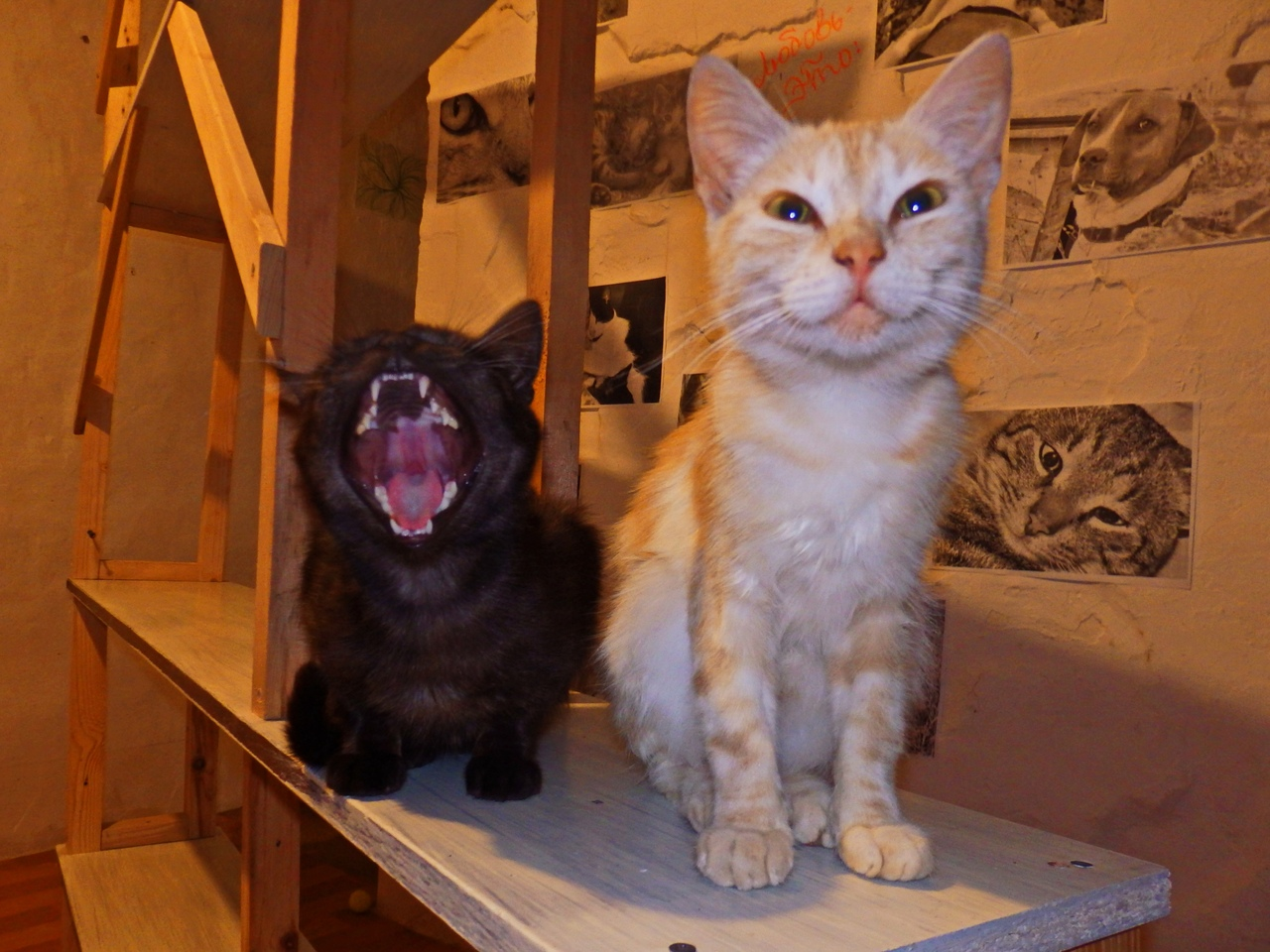 рыжий и черный коты