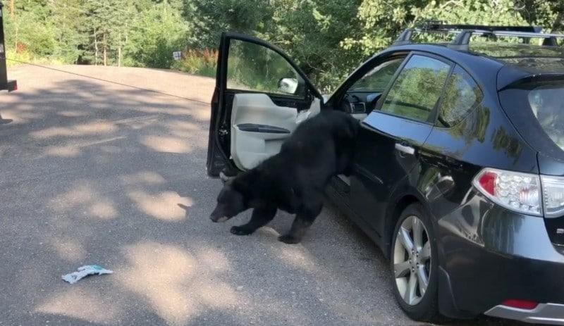 медведь вылез из машины