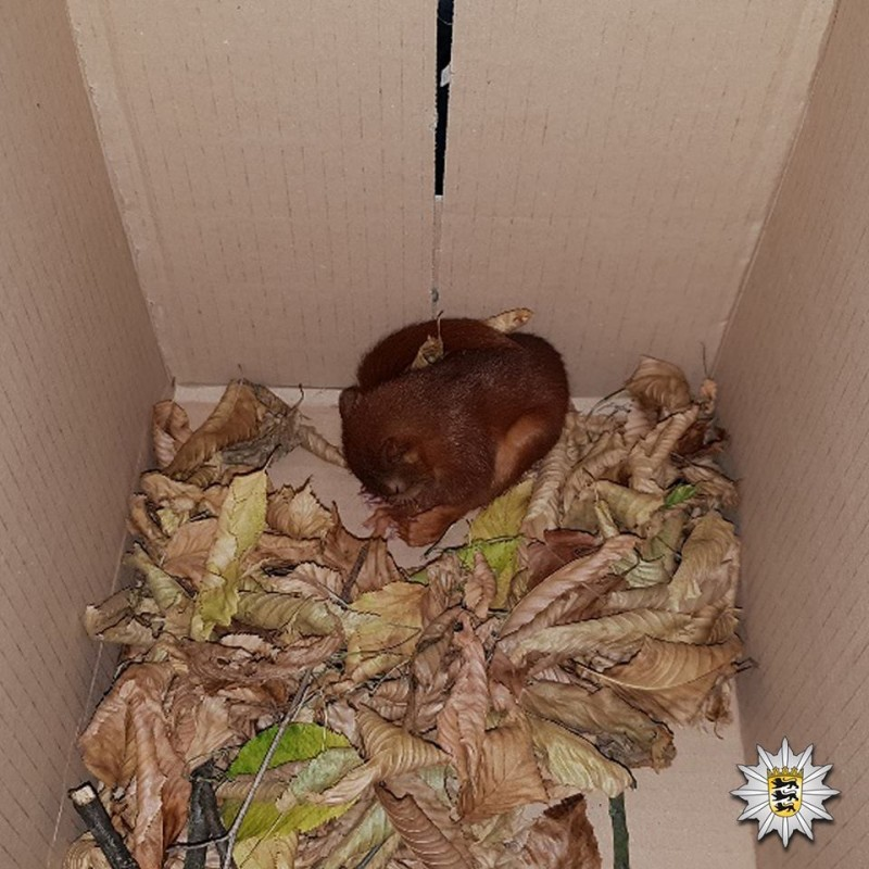 бельчонок спит в коробке