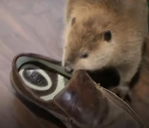 бобер и обувь