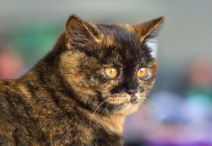 Трехцветная британская короткошерстная кошка