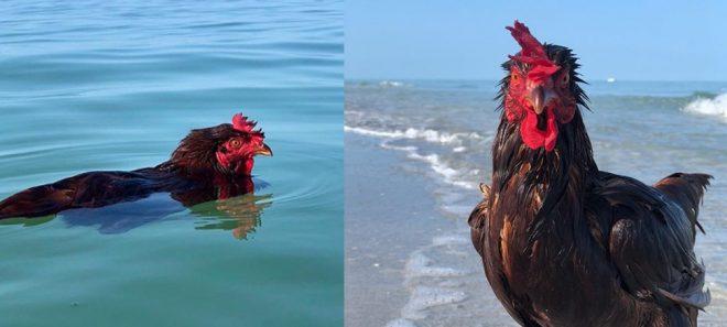 курица в воде