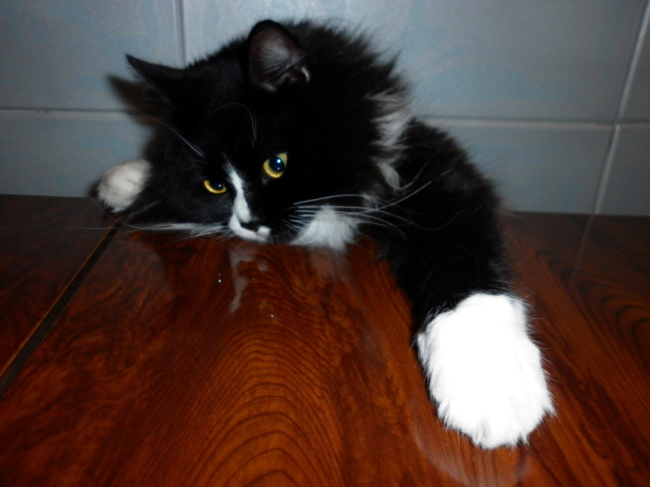 черно-белый кот лезет лапами на стол