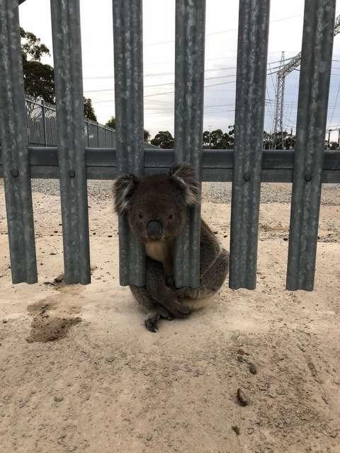 коала застряла в заборе 2