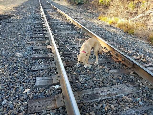 собака привязана к рельсам