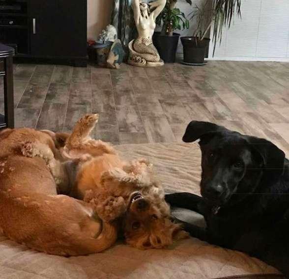 собаки играют друг с другом