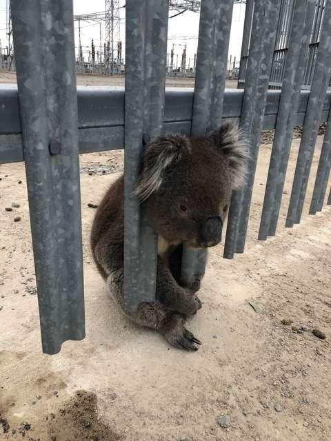 коала застряла в заборе
