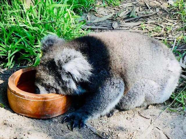 коала кушает