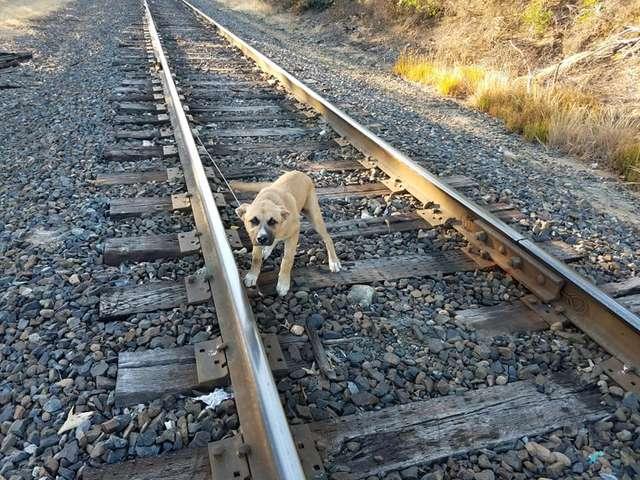 бежевый пес на рельсах смотрит на зрителя
