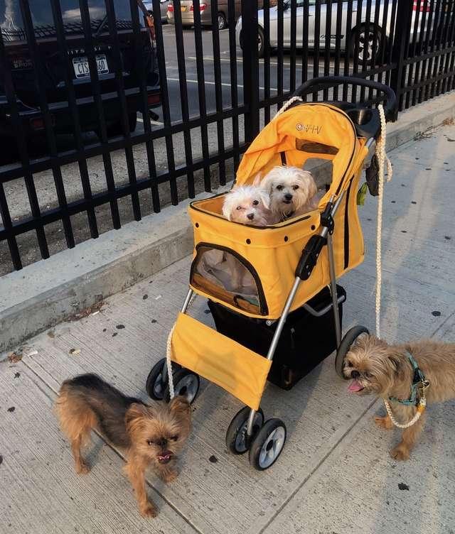 четыре собаки на прогулке рис 2