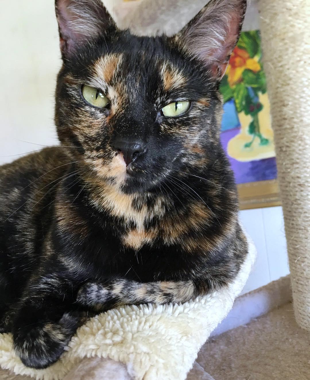 черно-рыжая кошка крупным планом