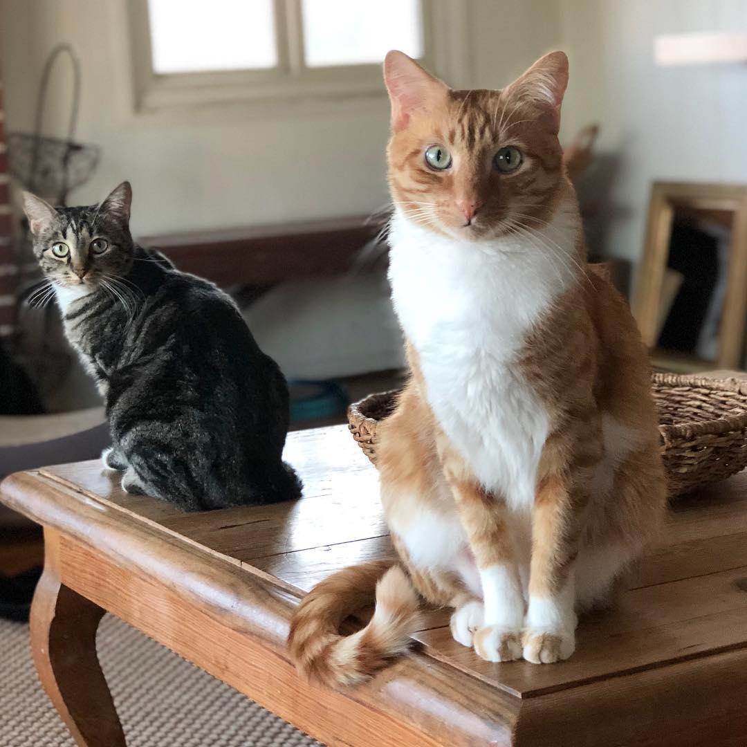 рыже-белая кошка и серый кот