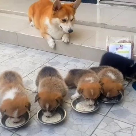 корги со щенками