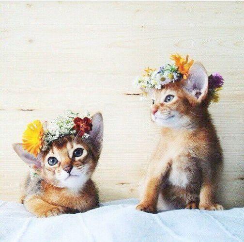 два абиссинских котенка