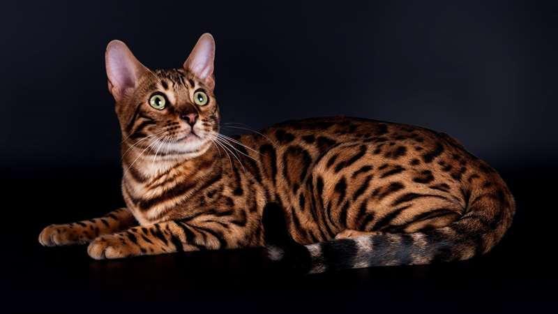 Бенгальская кошка описание породы, характеристики, внешний вид ... | 450x800