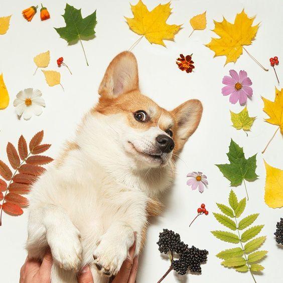 корги в листьях