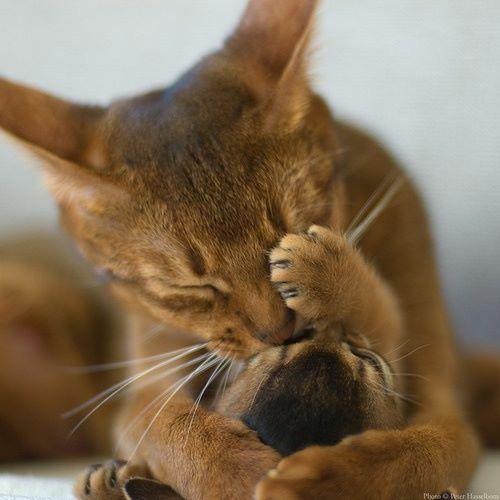 абиссинская кошка рис 6