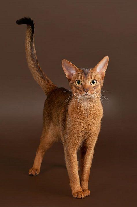 абиссинская кошка рис 3