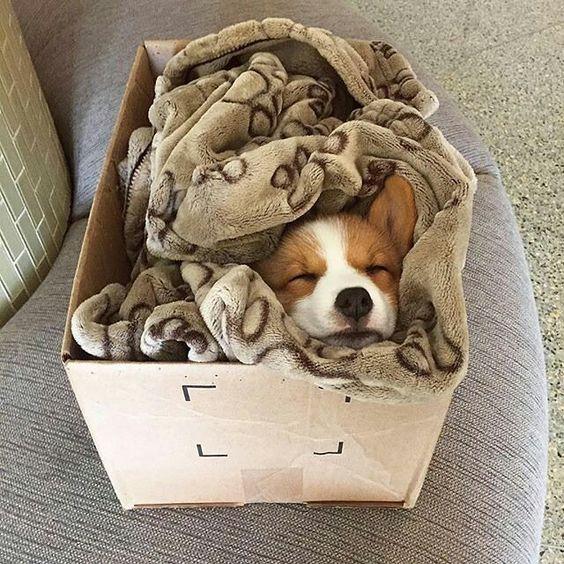 корги спит в коробке