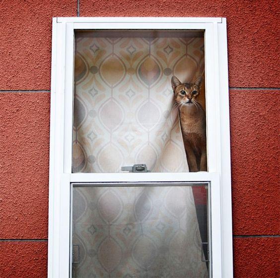 абиссинская кошка рис 9