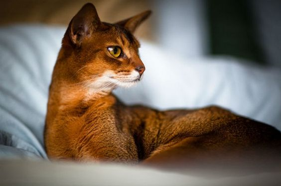 абиссинская кошка рис 5