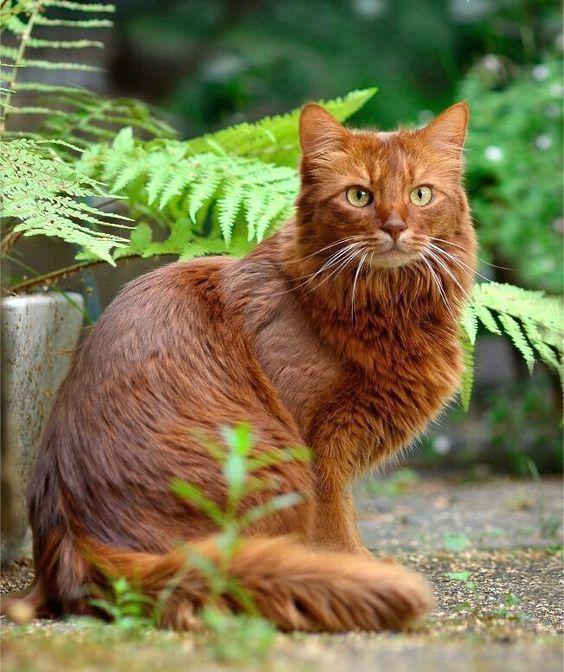 рыжая сомалийская кошка
