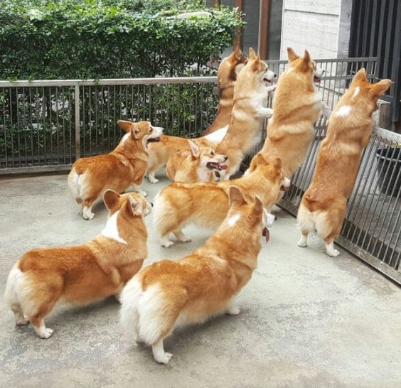десятки собак корги