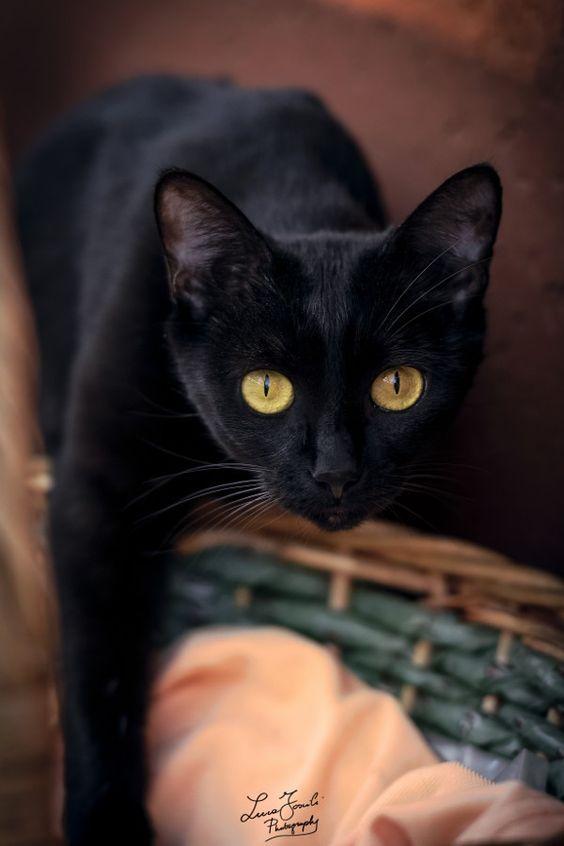черный кот с желтыми глазами